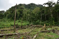 Recently clear-cut forest for cacao plantation Hoja Blanca