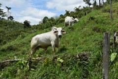Cow pasture Tesoro