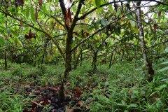Cacao plantation Tesoro